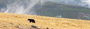 a young black bear