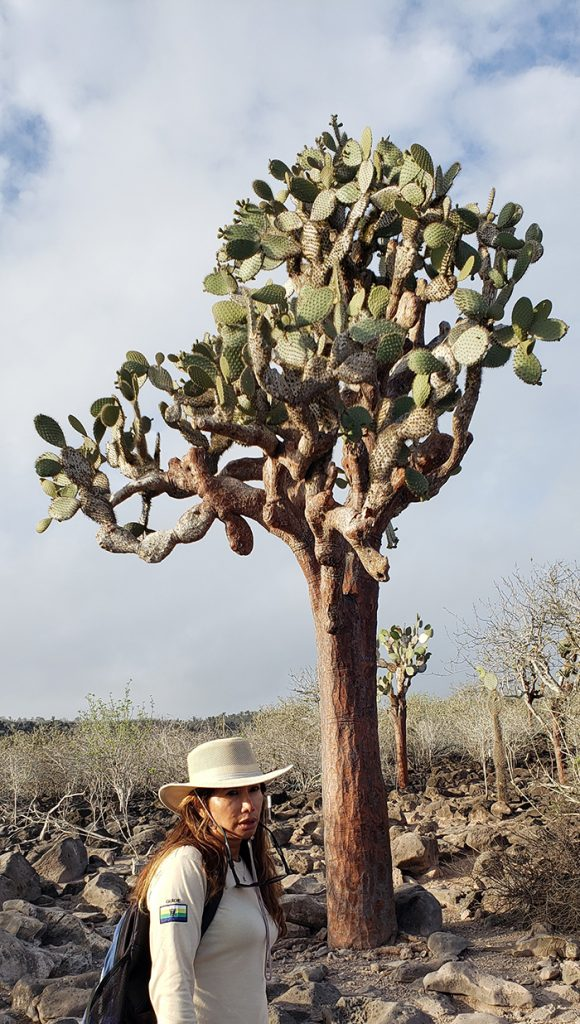 A pear cactus tree on Santa Fe Island