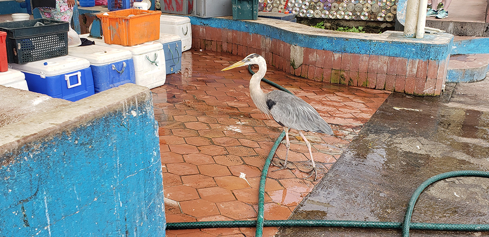 The heron at the fish market checking things out